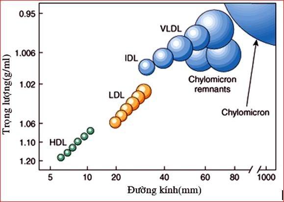 Thông tin y học: Rối loạn lipid máu và vữa xơ động mạch