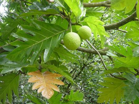 10 lợi ích sức khỏe của cây sa kê